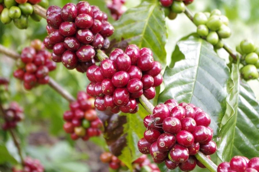 Vì sao nói TâyNguyên là vùng trồng cà phê lớn nhất nước ta?