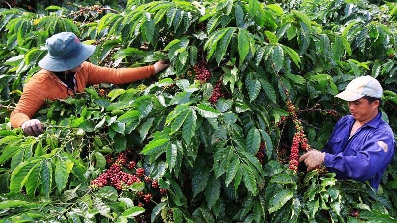 Cà phê Arabica Vùng Trung Bộ